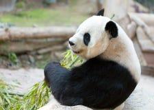 Verticale d'ours panda Image libre de droits