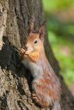 Verticale d'un écureuil Photo libre de droits