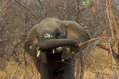 Verticale d'un éléphant Photographie stock libre de droits