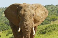 Verticale d'un éléphant africain Image libre de droits