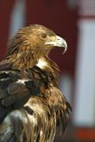 Verticale d'un aigle - 1 Photographie stock libre de droits