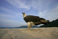 Verticale d'un aigle Images libres de droits