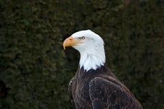 Verticale d'un aigle chauve image stock