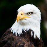 Verticale d'un aigle chauve Images stock