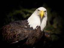 Verticale d'un aigle chauve Image libre de droits