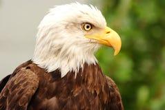 Verticale d'un aigle chauve Photo libre de droits