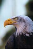 Verticale d'un aigle chauve Images libres de droits
