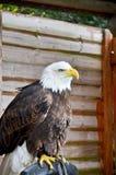 Verticale d'un aigle chauve Photos libres de droits