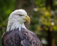 Verticale d'un aigle chauve américain Photos stock