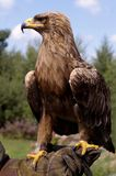 Verticale d'un aigle d'or Photo stock