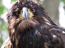 Verticale d'un aigle d'or Photographie stock