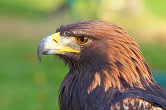 Verticale d'un aigle d'or Photographie stock libre de droits