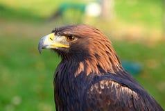 Verticale d'un aigle d'or Image stock