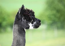 Verticale d'un alpaga noir, profil. Photos stock