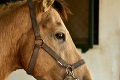 Verticale d'un beau cheval brun Photos libres de droits