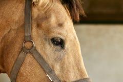 Verticale d'un beau cheval brun Photos stock