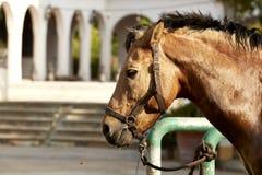 Verticale d'un beau cheval brun Images stock