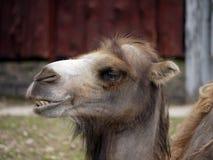 Verticale d'un chameau Image libre de droits
