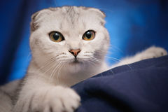 Verticale d'un chat écossais de pli photographie stock