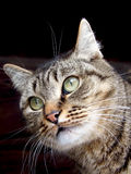 Verticale d'un chat Photo libre de droits