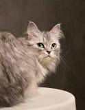Verticale d'un chat Photo stock