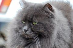 Verticale d'un chat gris pelucheux Photos libres de droits