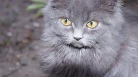 Verticale d'un chat gris pelucheux Images stock