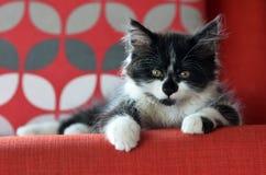 Verticale d'un chaton Photo libre de droits