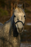 Verticale d'un cheval photos stock