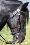 Verticale d'un cheval noir Photographie stock libre de droits