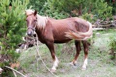 Verticale d'un cheval sur un pré vert. Altai Photos libres de droits