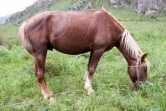 Verticale d'un cheval sur un pré vert. Altai Images stock