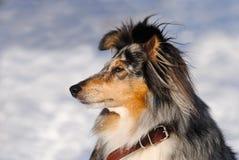 Verticale d'un chien de berger de Shetland (Sheltie) Photographie stock libre de droits