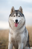 Verticale d'un chien de traîneau sibérien Photographie stock