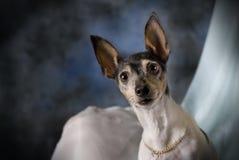 Verticale d'un chien terrier de Fox de jouet sur le bleu Photos stock