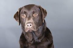 Verticale d'un chocolat Labrador Photos libres de droits