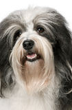 Verticale d'un crabot de Havanese Photo stock