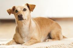 Verticale d'un dachshund Image libre de droits