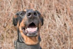 Verticale d'un dobermann noir Photo libre de droits