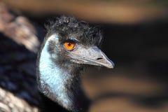 Verticale d'un Emu Photos stock