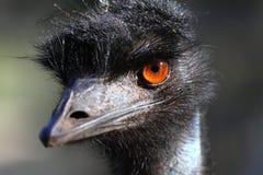 Verticale d'un Emu en Australie Photos libres de droits