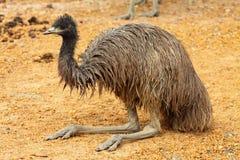 Verticale d'un Emu en Australie Photographie stock