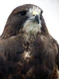 Verticale d'un faucon Image libre de droits