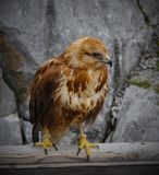 Verticale d'un faucon photographie stock libre de droits