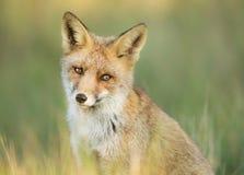 Verticale d'un Fox rouge photographie stock