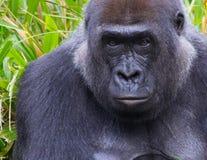 Verticale d'un gorille Image libre de droits
