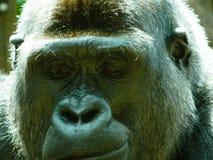 Verticale d'un gorille Images stock