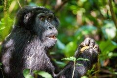 Verticale d'un gorille de montagne à une distance courte Images libres de droits