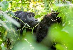 Verticale d'un gorille de montagne à une distance courte Photos libres de droits