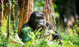 Verticale d'un gorille de montagne à une distance courte Gorilla Close vers le haut de portrait Image stock